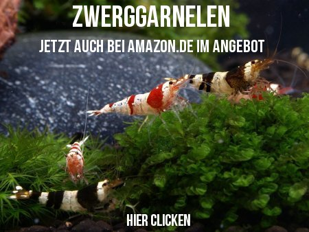 Zwerggarnelen bei Amazon